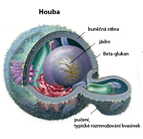 Pučení-kvasinek1